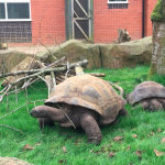 Giant tortoises at Twycross!