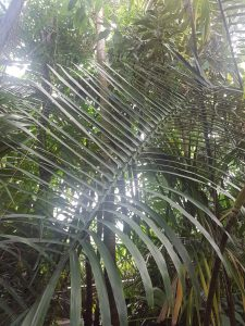 A photo of a large plant in the palm house