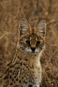 Alright, not as impressive as a leopard, but look at those ears. Magnificent.