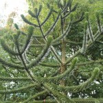 Behold the majesty of the Monkey Puzzle Tree!