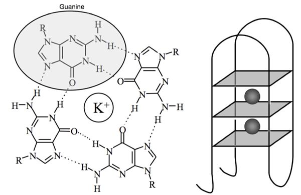The structure of DNA G-quadruplexes