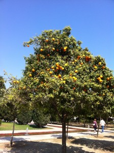Valencian orange tree