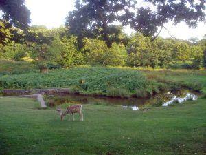 Bradgate Park- Deer