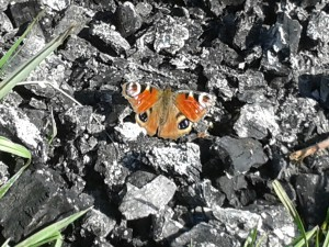 For some reason there was an inordinate number of butterflies in Norfolk this year, I managed to photograph this one with my phone.