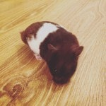 The aforementioned 'hamster in tow'; his name is Oreo because that is what he looks like.