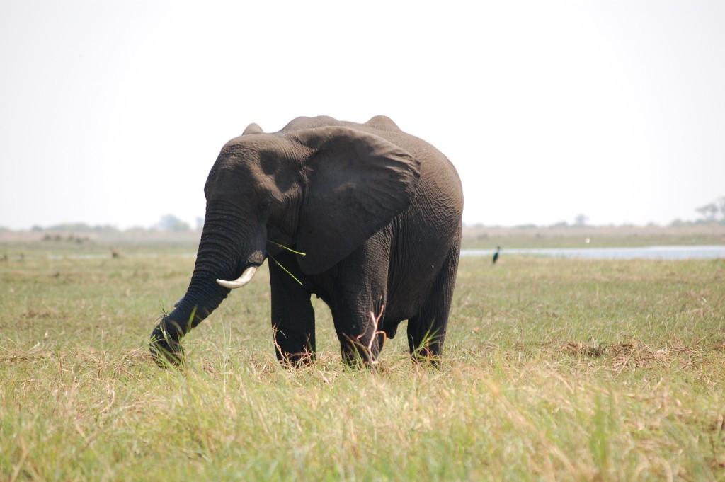 Elephant at Chobe 2014