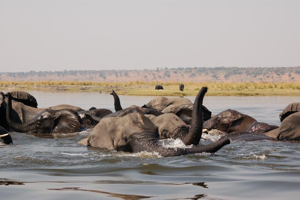 Elephants at Chobe 2014