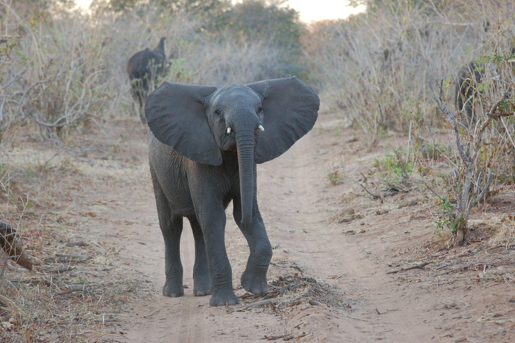 Young elephant at Chobe 2014