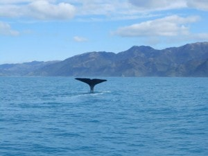 One the whales I saw on the whale watching tour