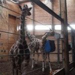 CPH Zoo Giraffes