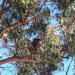 A Christmas koala