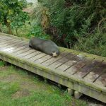 A seal who conveniently decided to lie on the path